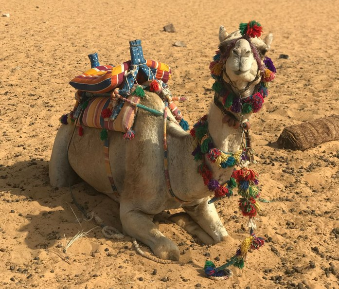 Camel resting in the sand in Egypt