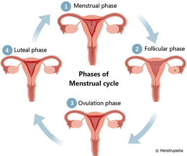 menstrual cycle diagram with ovulation 2004 international 4300 a c wiring friendly guide to healthy periods menstrupedia illustration of different phases phase follicular