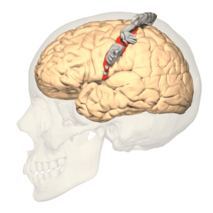 Figure 9.1 Cortical neurons which handle bodily areas have a map-like structure