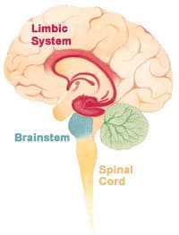 Old brain Brainstem; Middle Limbic; New Cortex