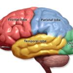 Each lobe of the brain receives a different sense's data