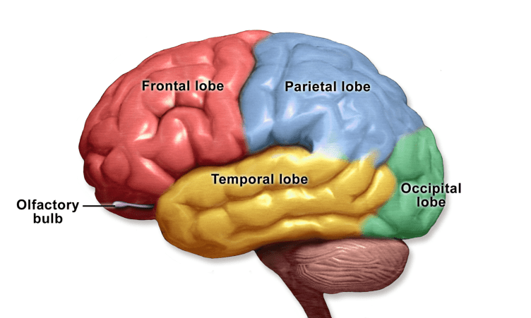 The cortex of the brain is usefully considered to be divided into four lobes