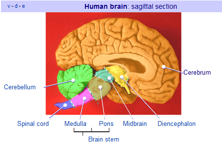Human Brain Side View. The brainstem is