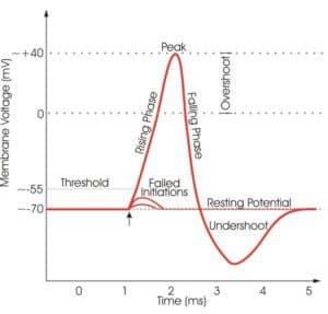 Neural electrical characteristics