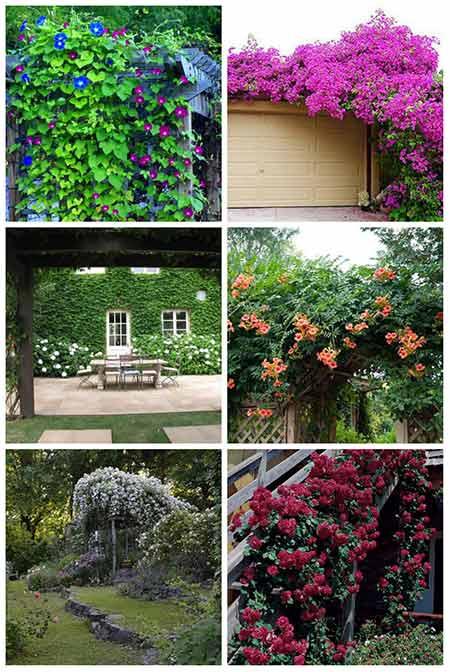 12 Best Climbing Plants For Pergolas And Arbors Mental Scoop