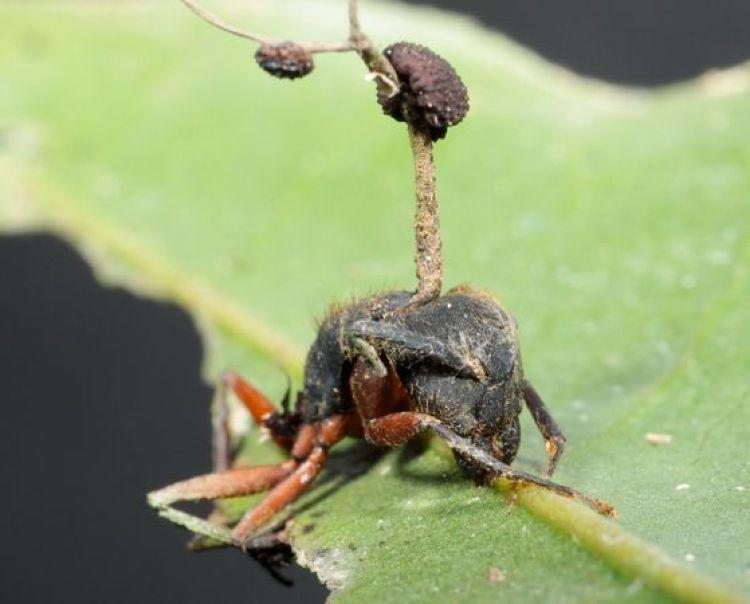 L'Ophiocordyceps camponoti-rufipedis produce un solo ramo, mentre l'Ophiocordyceps camponoti-balzani crea un ramo biforcuto