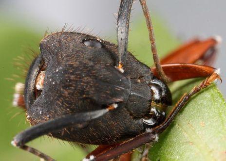Un'escrescenza di una specie del fungo comincia a emergere dalla testa della formica zombie due giorni dopo la morte. Dopo che l'insetto muore, il fungo si diffonde rapidamente su tutto il corpo, ma nei primissimi giorni il fungo non è visibile all'esterno del corpo.