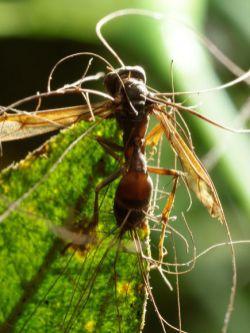 Le formiche non sono gli unici insetti attaccati da questi funghi: nella foto si vede una vespa infettata da un fungo del genere Cordyceps che ancora non è stato identificato
