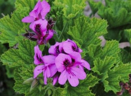 geranium-rosat