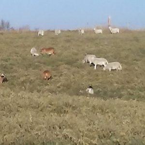 Grass Finished Lamb