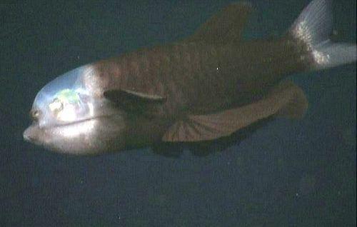 Macropinna Microstoma, pez transparente