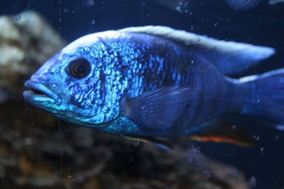 Haplochromis ahli
