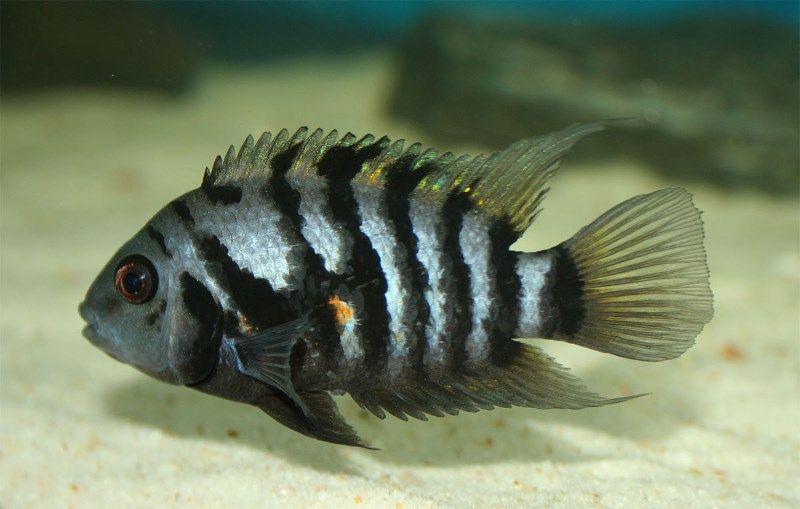 cichlasoma- nigrofasciatum (Cíclido convicto, Cíclido cebra)