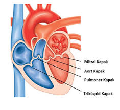 kalp kapakçığı