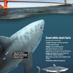 Great White Shark Food Chain Diagram How Do Solar Panels Work Goblin Wiring Today Sharks At Times Enter San Francisco Bay The Mercury News Hammerhead