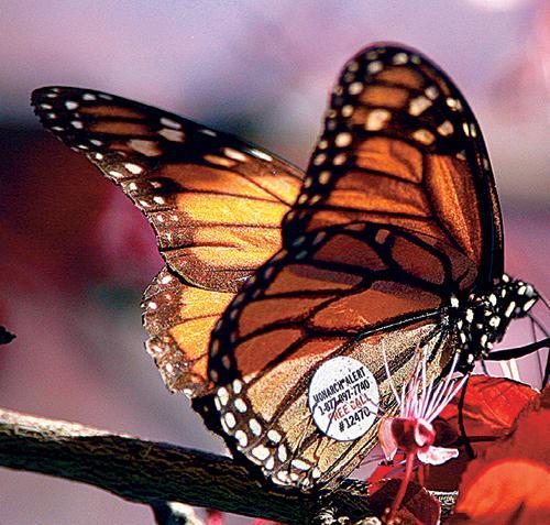 20100104__advwinter09_monarchs1.jpg
