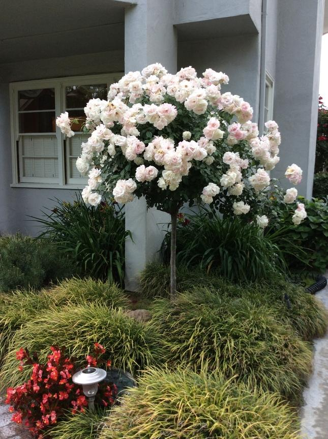 growing roses in the bay area the