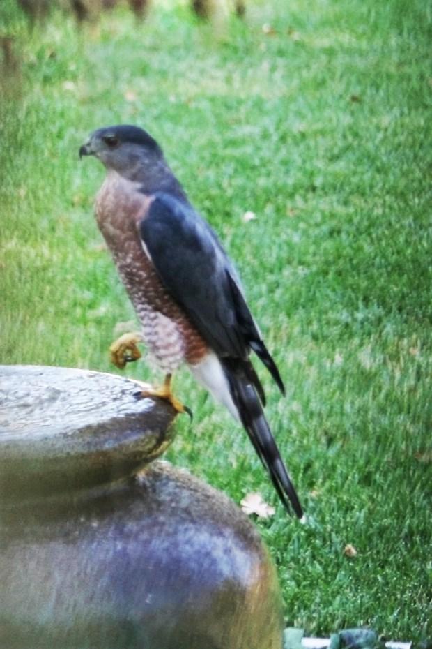 A Cooper's hawk visits a Pleasant Hill bird bath. (Courtesy of Rich Cordes)