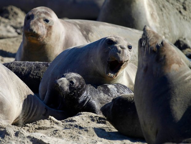 A northern elephant seal pup rests with its mother along a beach at Año Nuevo State Park on Wednesday, Jan. 7, 2015, in Pescadero, Calif. (Aric Crabb/Bay Area News Group)