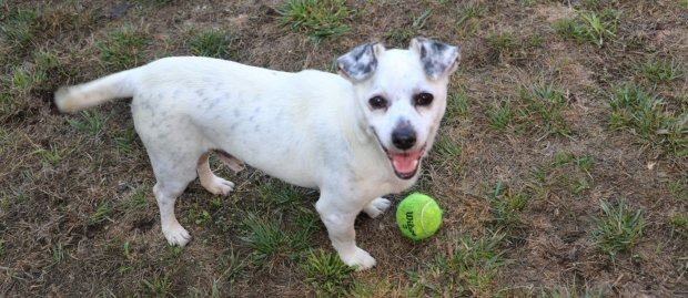 PET OF THE WEEK: Hello, my name is Cornelius. I'm 9 years young and stay in fantastic shape by walking and playing fetch. You won't mind throwing my ball a lot, will you? Good! I'm OK with dogs I know, but haven't met many kids or cats.I am in foster care but can easily come to the shelter if you call 650-340-7022 or email Sam at slundquist@phs-spca.org and ask to meet Cornelius, ID number A810218. Aadoptable pets are available at the Peninsula Humane Society & SPCA, Tom and Annette Lantos Center for Compassion, 1450 Rollins Road, Burlingame. The shelter is open for adoptions 11 a.m. to 7 p.m. Mondays through Fridays, and 11 a.m. to 6 p.m. on weekends. For directions and information, call 650-340-7022 or visit www.phs-spca.org. (Tim Hopkins / Peninsula Humane Society)