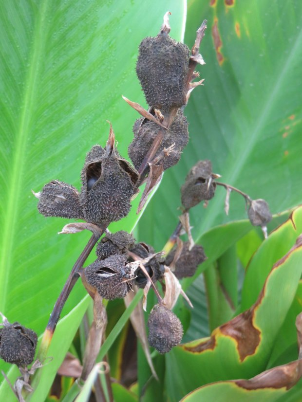 Spent seed pods from a canna lily create a visual interest in the winter garden, but they also provide food and perching spots for birds and insects. (Courtesy of Patrice Hanlon)