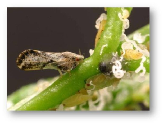 The Asian citrus psyllid is small, but easily recognizable by its posture when eating -- head down, rear up. Nymphs also produce waxy, curly tubes. (Courtesy of Michael Rogers)
