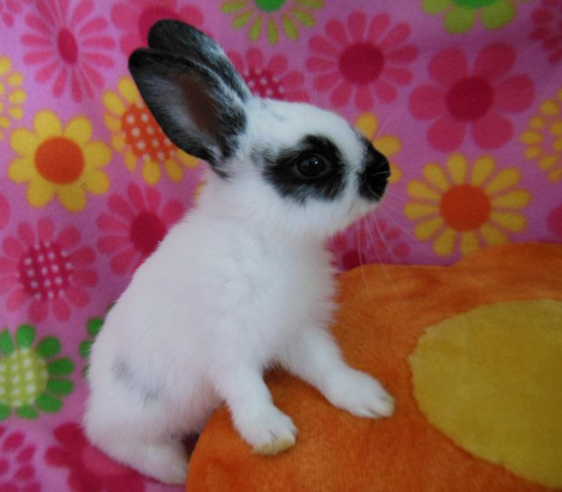 Ilena will be available for adoption at the Rabbit Haven's adoption event Sunday at Pet Pals in Soquel. (Rabbit Haven -- Contributed)