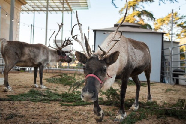 ˜Tis the Season for Science at the California Academy of Sciences where it's a winter wonderland complete with snow flurries, caroling, festive programs and a visiting pair of reindeer, through Jan. 8.