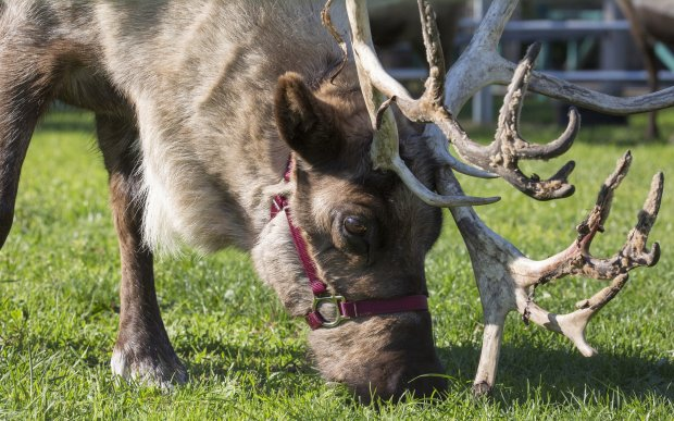 "The reindeer at San Francisco Zoo are available for ""adoption"" during theZoo Lights fest. (Photo courtesy Marianne Hale)"