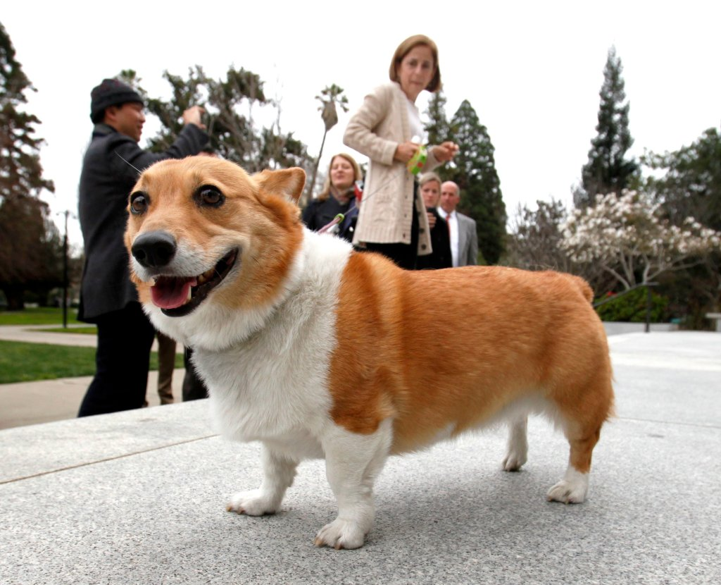 Corgi Wallpaper Cute California Governor S First Dog Sutter Has Died