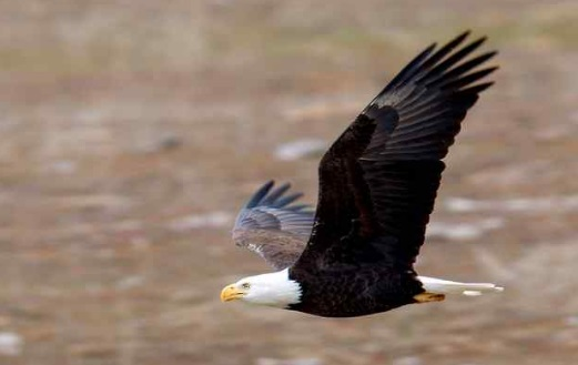 Bald eagles such as the one shown in this photo have been showing up with lead poisoning across the U.S. Wildlife toxicologist Myra Finkelstein is trying to get funding to study how wide spread the poisoning is. (woodshots.com — Contributed)