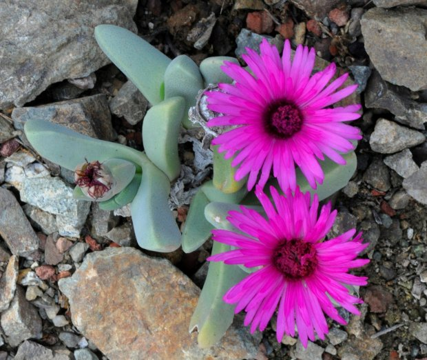 Cheiridopsis purpurea is a member of the Ice Plant family. It loves thesun, is drought tolerant, and adds beautiful colors to your garden. (Courtesy of Brian Kemble)