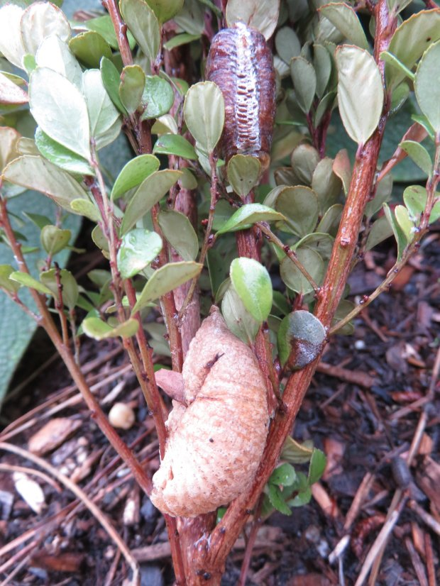 Two egg sacks -- one already opened from last spring (top) -- in a crepemyrtle bush are from a praying mantis, and are signs that the garden is healthy and supportive of many beneficial insects. (Courtesy of Stephen M.)