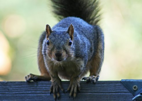 squirrels communicate volumes with