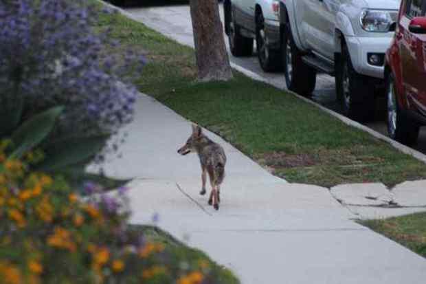 New web tool tracks coyote activity using shared data from neighborhood sightings