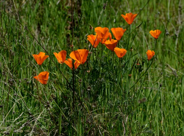 "California Poppies bloom at Sunol Regional Wilderness Park in Sunol, Calif., on Tuesday, March 28, 2017. With all the rain in the Bay Area this past winter, we are likely to see a ""Superbloom"" of wildflowers this spring. (Dan Honda/Bay Area News Group)"