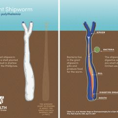 Clam Diagram Labeled Triumph T120 Wiring Scientists Find Giant Elusive Known As The Unicorn
