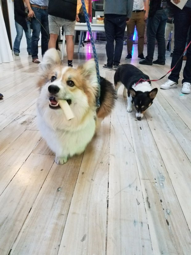 Basil, left, and friend during a meetup at a corgi event in San Franciscoin March. (Angela Ruggiero/Staff)