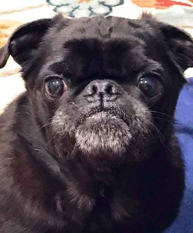 Pye is the Pug Rescue Pet of the Week for May 19(Courtesy of Pug Rescue)