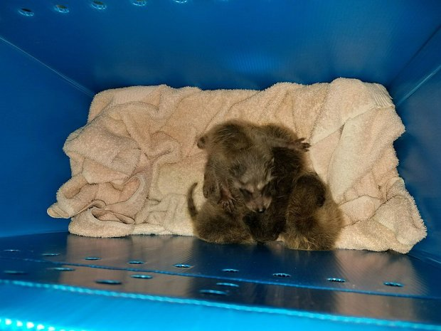 Five newborn raccoons were illegally dumped at Christmas Hill Park in Gilroy over the weekend, according to Wildlife Emergency Services, a nonprofit based in Moss Landing. (Courtesy of Wildlife Emergency Services)