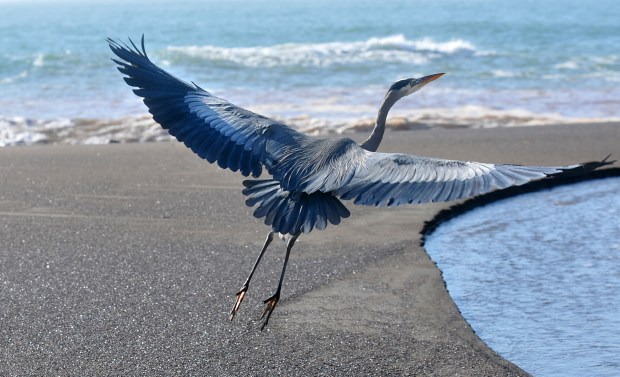 A great blue heron takes flight at Tennessee Valley Beach this week in what has been a cold start to the new year. Low temperatures dropped into the low 30s in the Bay Area, and the cold snap was expected to continue through the weekend with a freeze warning in effect in the early-morning hours. (IJ photo/Frankie Frost)