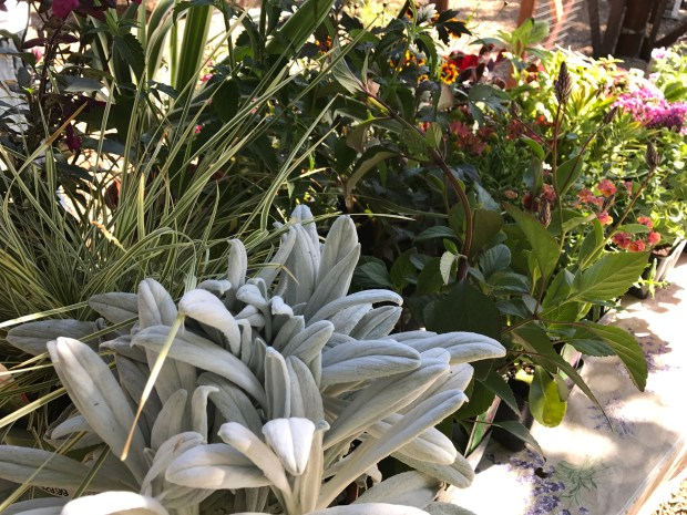 Assortment of plants can be used to create dramatic containers for your garden. (Joan Morris/Bay Area News Group)