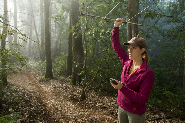 Mountain Lion biologist, Justine Alyssa Smith, using telemetry to track a female lion as part of the research conducted in the Santa Cruz Puma Project, Henry Cowell Redwoods State Park, Santa Cruz Mountains, California. (Courtesy Sebastian Kennerknecht)