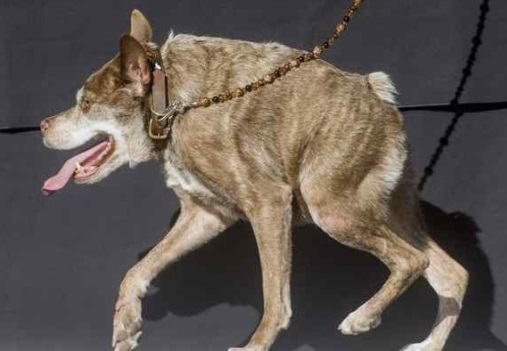 """In this June 26, 2015, file photo, Quasi Modo wins top honors in the World's Ugliest Dog Contest at the Sonoma-Marin Fair in Petaluma. The annual World's Ugliest Dog Contest celebrates homely pooches for their inner beauty in Petaluma. Organizers say the pooches will face off in a red carpet walk and """"Faux Paw Fashion Show"""" during Friday's events. It's intended to show that all dogs, regardless of physical appearance, can be lovable additions to any family. (AP FILE PHOTO)"""