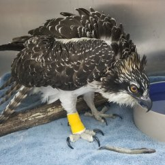 Kitchen Window Treatment Dining Sets Rescued Osprey Treated And Returned To Her Nest In Oakland