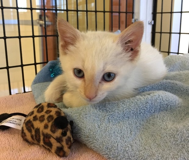 Pallet the kitten at the Humane Society's Burlingame shelter (courtesy of Peninsula Humane Society and SPCA)