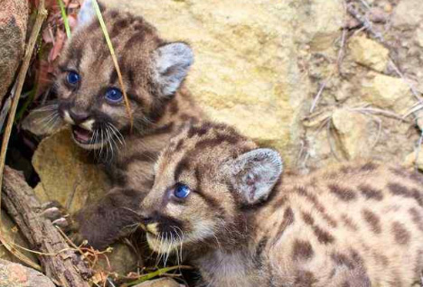 Los angeles new mountain lions their dad is bad news 59gw620crop00px1009999px spiritdancerdesigns Images