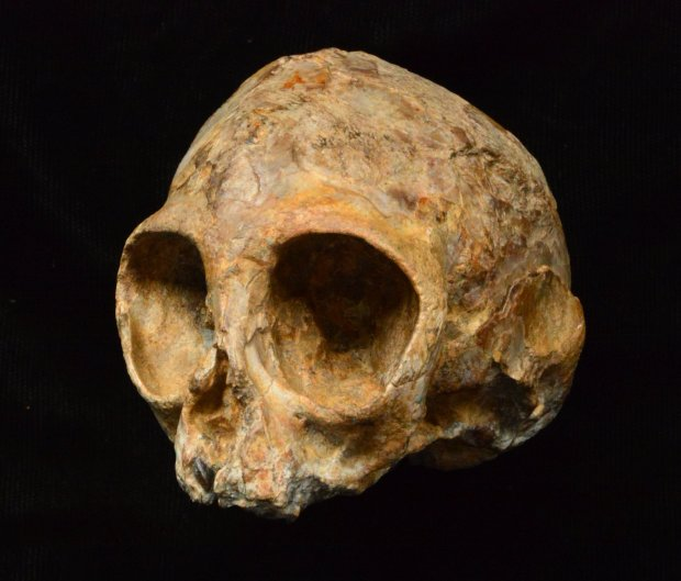 Alesi, the skull of the new extinct ape species Nyanzapithecus alesi. (KNM-NP 59050). (© Fred Spoor)