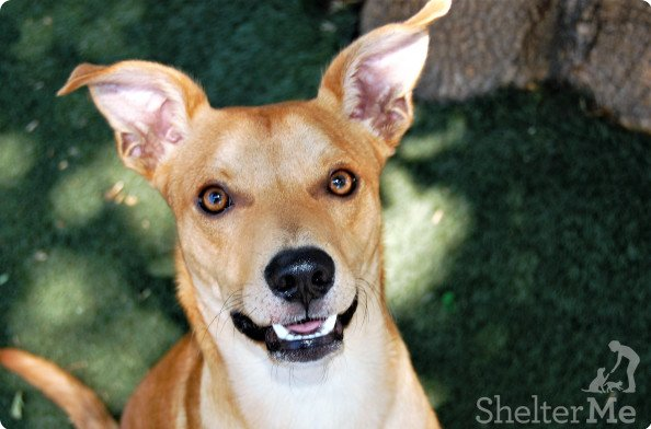 Beauford is a 13-month-old male Basenji mix. Only 26 pounds, he is playful,friendly and loving. His adoption number is A124995. The shelter's featured pets, and many other animals, are available from Antioch Animal Services, 300 L St. The center is open from 10 a.m. to 5 p.m. Tuesday, Wednesday, Thursday; 10 a.m. to 2 p.m. Friday; and 10 a.m. to 5 p.m. Saturday. All of the pets from the center can be viewed at www.shelterme.com. Call 925-779-6989 . COURTESY CAT COTTLE