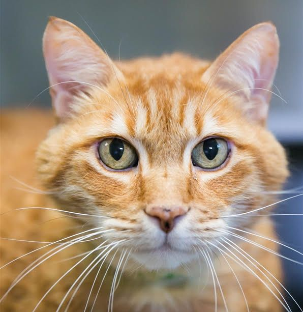 Antonym, an 8-year-old male domestic shorthair, is the East Bay SPCA's pet of the week.